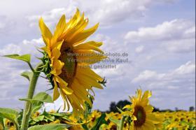 025_Sonnenblume